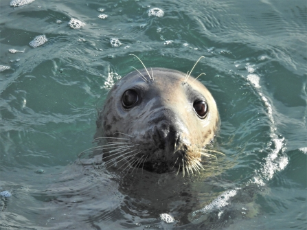 Brittany the grey seal's big eyes by Claire Lewis