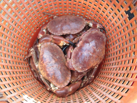 Pot caught brown crabs in Falmouth Bay, photo by Abby Crosby