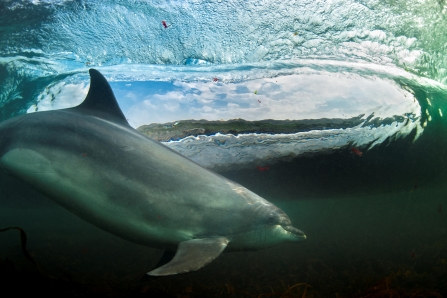 Bottlenose dolphin surfing by George Karbus