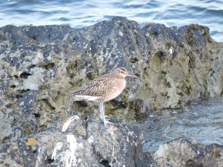 Whimbrel blended in against rocks © Claire Lewis