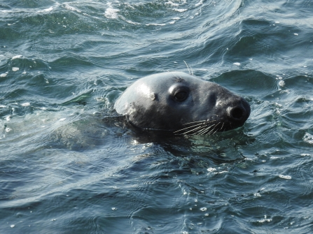 Male grey seal with classic roman nose