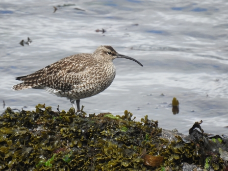 Photo of whimbrel resting