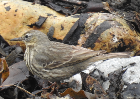 The rock pipit's yellow and brown plumage seamlessly blends in with the algae-covered yellowed rocks behind