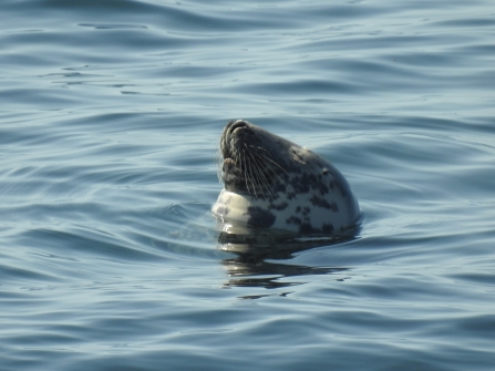 A grey seal's head floating in a blue ocean as it appears to take a nap