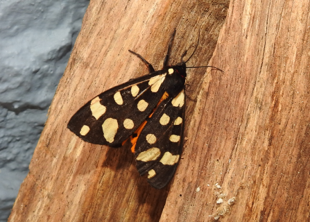 Cream-spot tiger moth by Claire Lewis