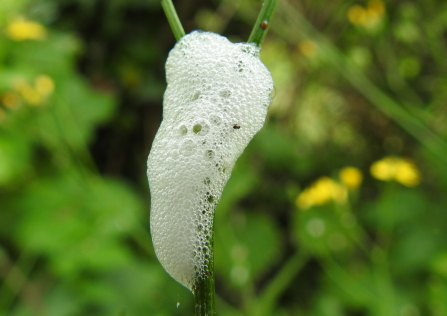 A foamy white blob clings to a plant stem