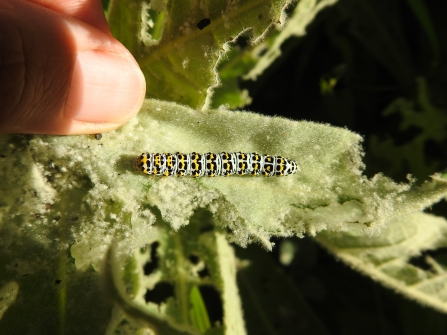Photo of Mullein moth caterpillar - Claire Lewis