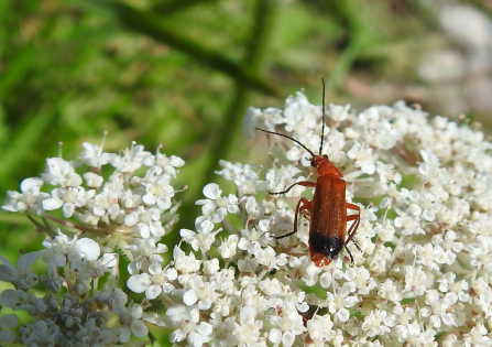 A long red soldier beetle with definitive black stripe on rear sits atop small white flowers