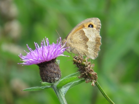 A meadow brown butterfly perches on top of a bright purple thistle-like flower