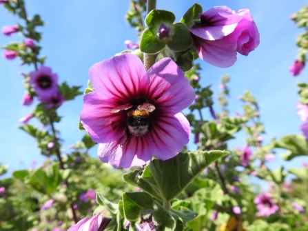 A bumblebee buries itself in the dark purple centre of a lilac tree mallow flower
