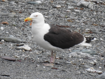 LAH1 Great Black-backed Gull by Claire Lewis