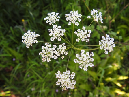 Delicate bundles of white flowers hang off long stems - similar to cow parsley