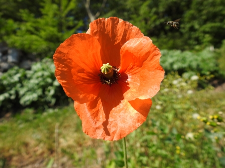A bright red poppy stands tall and open with a bee flying in from the right to pollinate