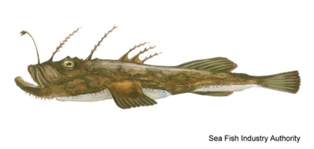 An illustration of a Monkfish - a long, dark brown fish with many spines and one lantern-like antenna on its forehead.
