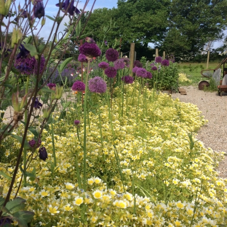 the round violet flowers of wild onions and sand leeks stand tall on their green stems like lollipops, rising above the bed of yellow chamomile below. In the background, galvanised pots lie artistically on a gravel lawn and trees stand tall behind.