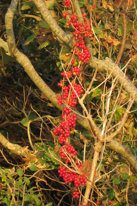 Black Bryony berries wrapped around tree