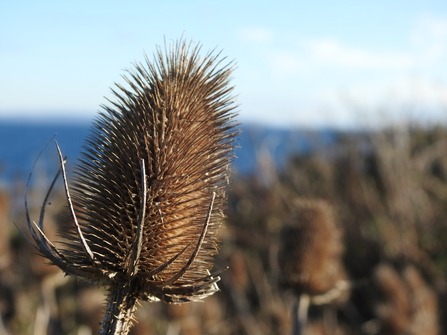 Close-up photograph of a Teasel