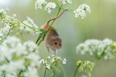 A Harvest Mouse on Cow Parsley