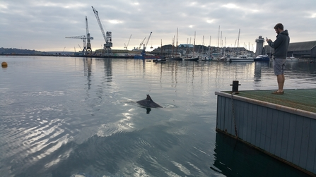 Bottlenose Dolphin 'Clet' and man in Falmouth Harbour