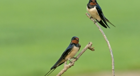 Swallow (stock photo)