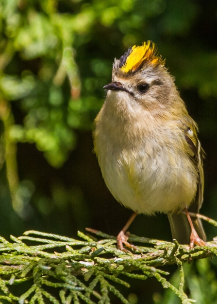 Goldcrest are noticeable by their distinct gold crest atop their otherwise muted brown coat