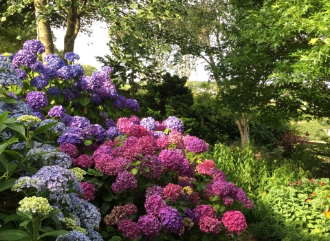 blue, purple and pink hydrangeas flower from one shrub in a beautiful display of colour