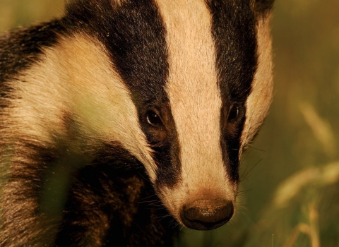 Badger Appeal